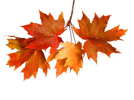 Geïsoleerde herfst bladeren op witte achtergrond