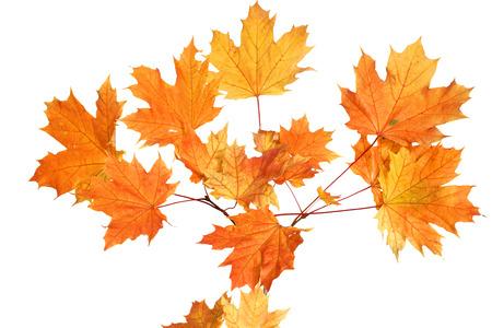hojas secas: Hojas de otoño aisladas sobre fondo blanco