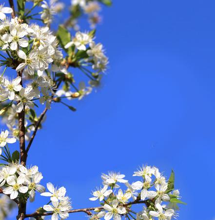 tree branch: Cherry blossom on  blue  sky Stock Photo