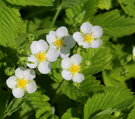 maturing: Green background of strawberry leaves and flowers