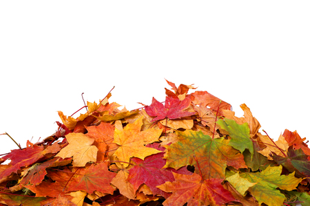 dry leaves: Pile of autumn colored leaves isolated on white background.A heap of different maple dry leaf .Red and colorful foliage colors in the fall season