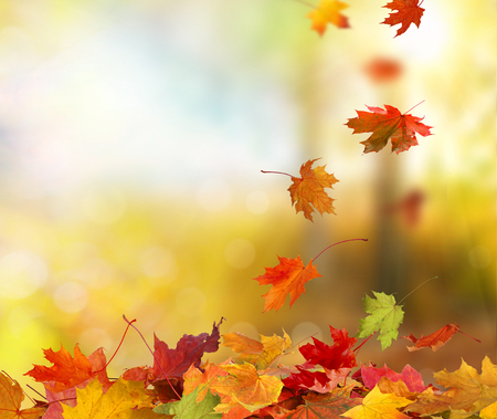 Falling autumn maple leaves natural background