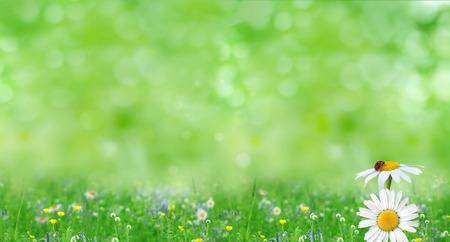 chamomile flower: Green summer nature background with chamomile flowers. Spring floral landscape  with green grass and daisies