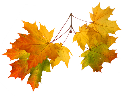 Rama de hojas de otoño aisladas sobre fondo blanco