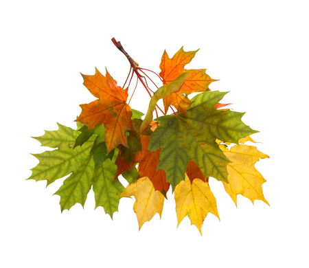 Branch of autumn maple leaves isolated on white background 스톡 콘텐츠