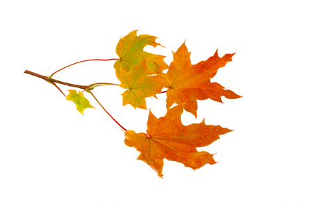 Branch of autumn maple leaves isolated on white background Stock Photo - 110084988