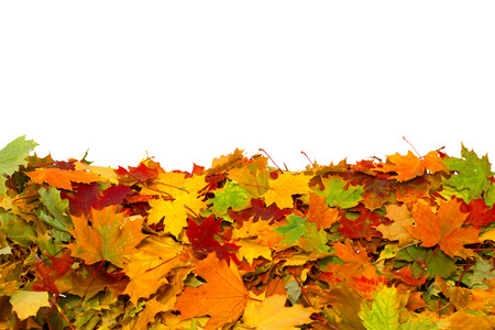 Pile of autumn colored leaves isolated on white background. A heap of maple dry leaves. Stock Photo - 110084995