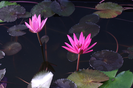 Beautiful water lily flower in the lake. Nymphaea reflection in the pond