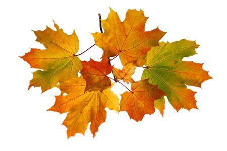 Rama de hojas de arce otoñal aislado sobre fondo blanco.
