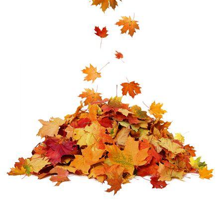 Stapel herbstfarbener Blätter lokalisiert auf weißem Hintergrund. Ein Haufen verschiedener Ahorn-Trockenblätter. Rote und bunte Laubfarben in der Herbstsaison