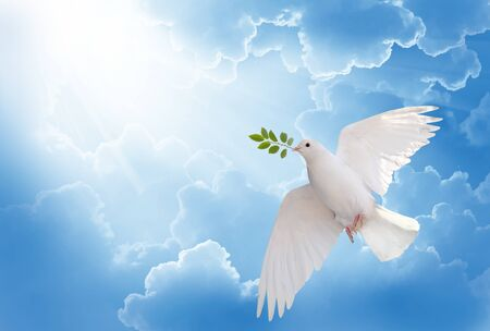 A free white dove holding green leaf branch flying in the sky. International Day of Peace concept background