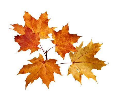 Ramo di foglie di acero autunnali isolato su sfondo bianco white