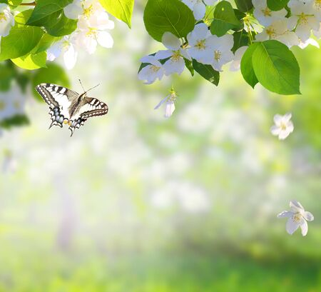 Apple tree blossoms with green leaves Spring flowers  and a flying butterfly. Green nature blurred background.  Stock Photo