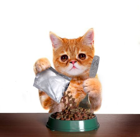 Funny kitten eating dry cat food from bowl. Exotic shorthair red cat isolated on white backgroundCute cat is sitting at the table and eats with plates