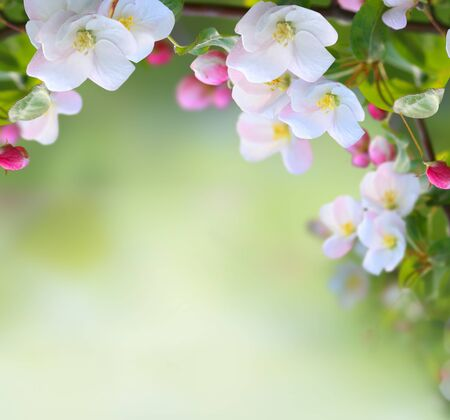 Apple tree blossoms with green leaves Spring flowers on green nature  blurred background.