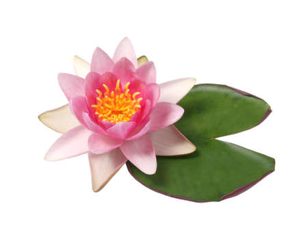 Beautiful pink water lily isolated on white background.Lotus flower Banco de Imagens
