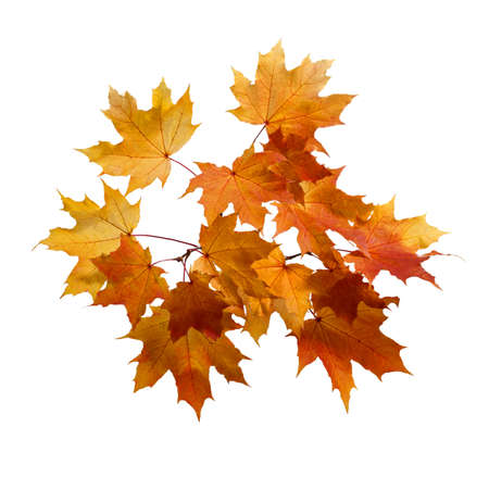 Fall Foliage. Beautiful branch of autumn colorful maple leaves isolated on white background.