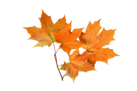 Branch of autumn orange maple leaves isolated on white background