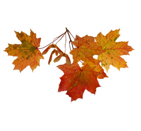 Branch of autumn maple leaves isolated on white background Banco de Imagens