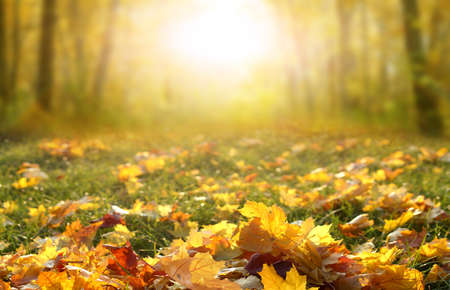 Sunlight in autumn forest. Colorful foliage in the park. Falling leaves natural background.Beautiful autumn landscape with yellow trees, green grass and sun.