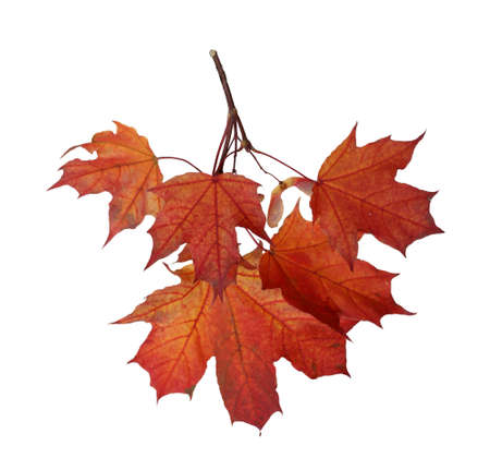 Branch of autumn red maple leaves isolated on white background Banco de Imagens