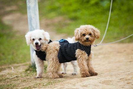 tiny: tiny poodle Stock Photo