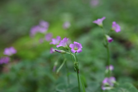 wood sorrel: Colse Alaz�n de madera