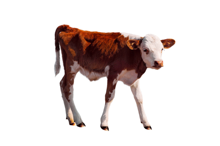Young calf standing alone, isolated on white. Newborn baby cow