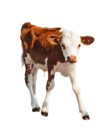 Front view of brown calf isolated on white background