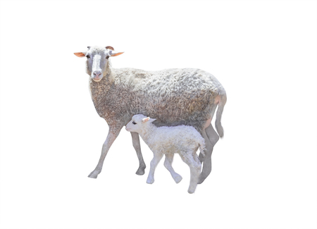 Sheep and young little lamb isolated on white background