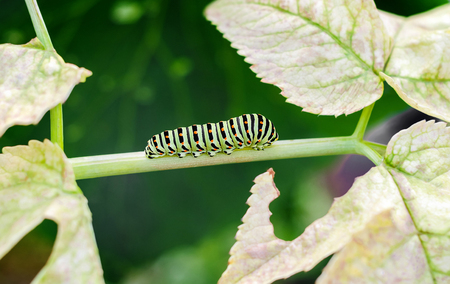 imago: Caterpillar creeping on leaves at green background Stock Photo