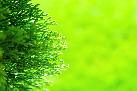 Closeup of branch of needle leaf tree at blurred green background Reklamní fotografie