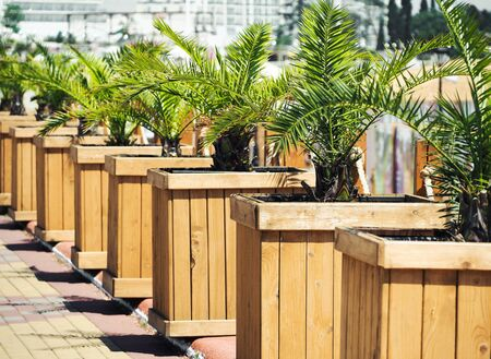 Row of palm trees in wooden stands. Urban outdoors decoration Imagens