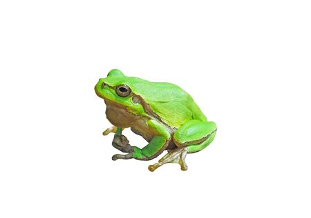 Small European tree frog isolated on white background Imagens