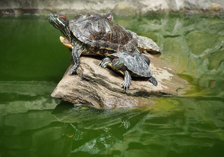 Group of red-eared sliders or terrapins on stone at green pond water background