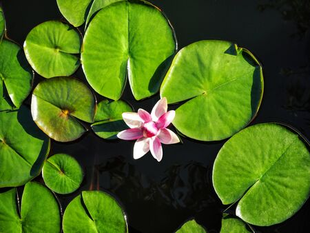 Top view of water lily and green leaves. Natural background with lotus flower on water surface Zdjęcie Seryjne