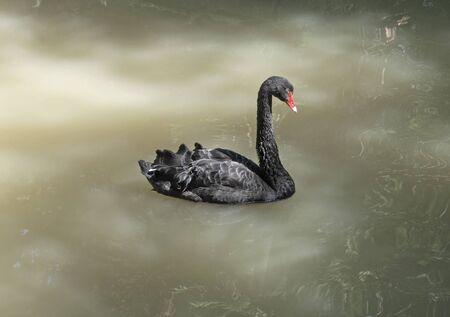 Black swan with red beak swimming on lake water Stockfoto