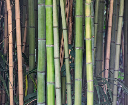 Forest with bamboo stems and leaves. Natural tropical background Stockfoto