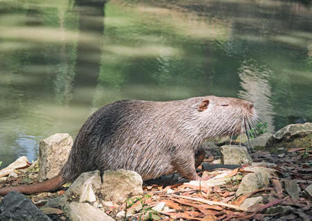 Side view of coypu or nutria at river water background