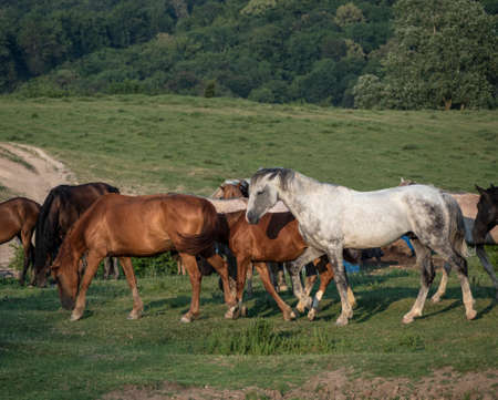 Group of grazing brown and white horses and foals 免版税图像