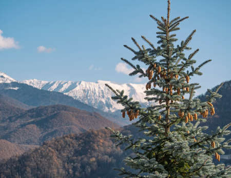 Fir tree with cones at snowy mountains and blue sky background