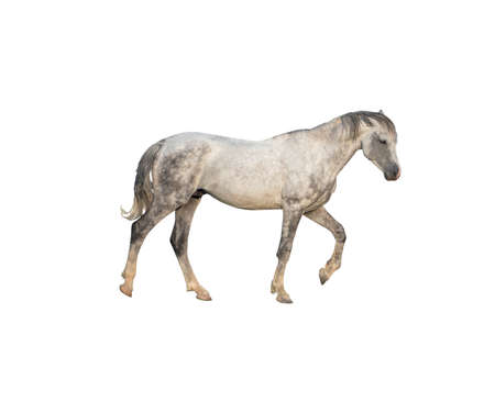 Side view of dapple gray horse isolated on white background