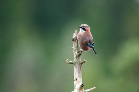 glandarius: Eurasian Jay Garrulus glandarius sitting on a dead tree