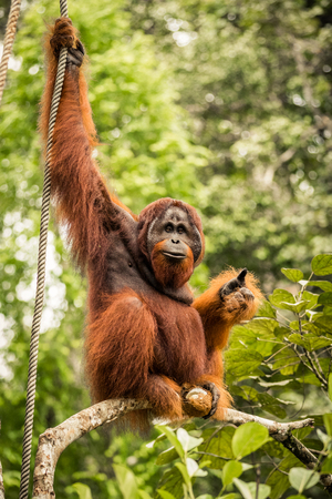 pongo: Wild living adult male Orangutan sitting on a branch in Borneo, Malaysia Stock Photo
