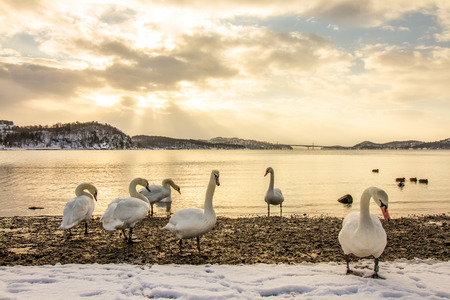 Mute swans in cold weather in Hamresanden, Norway
