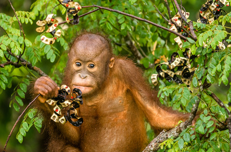Canopies: Wild Baby Orangutan Eating Red Berries in The Forest Of Borneo Malaysia Stock Photo