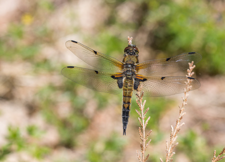 European Four spotted chaser dragonfly Libellula quadrimaculata Stock Photo