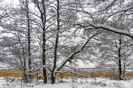 Winter landscape with snow, alder trees and common reed in Norway, Fredrikstad