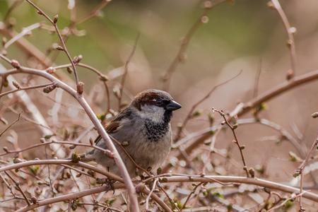 Tree sparrow - Passer montanus - sitting in a bush Stock Photo