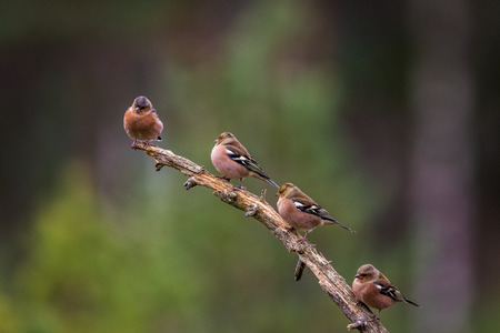 Four Chaffinchs sitting on a branch in forest